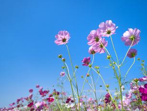 青空とコスモス畑の写真素材 [FYI03424186]