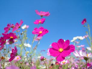 青空とコスモス畑の写真素材 [FYI03424189]