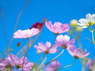 青空とコスモス畑の写真素材 [FYI03424191]