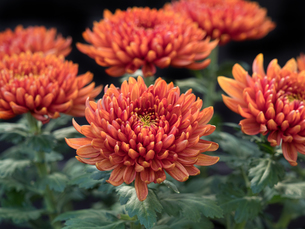 菊の花の写真素材 [FYI03424471]