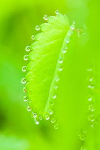 ワレモコウ若葉に水滴 溢液現象の写真素材 [FYI03424623]