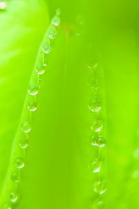 若葉の水滴 ワレモコウ 溢液現象の写真素材 [FYI03424624]