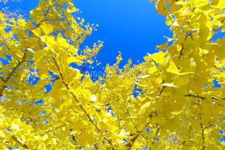 黄色く染まったいちょうの写真素材 [FYI03424724]