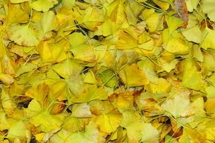 いちょうの落ち葉の写真素材 [FYI03424726]