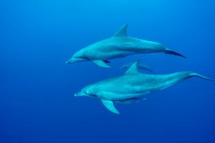 小笠原父島 ボニンブルーを泳ぐミナミハンドウイルカの写真素材 [FYI03424809]