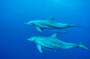 小笠原父島 ボニンブルーを泳ぐミナミハンドウイルカの写真素材 [FYI03424810]