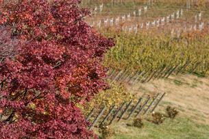 秋のワイン畑の写真素材 [FYI03424852]
