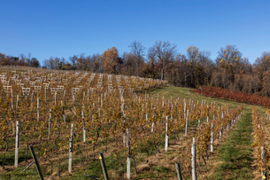 秋のワイン、ぶどう畑の写真素材 [FYI03424864]