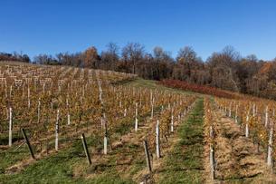 秋のワイン畑の写真素材 [FYI03424866]