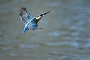 カワセミの飛翔の写真素材 [FYI03424969]