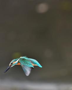 カワセミの飛翔の写真素材 [FYI03424970]