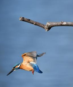 カワセミの飛翔の写真素材 [FYI03424972]