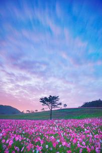 朝のコスモス畑と木立と流れる雲の写真素材 [FYI03425094]