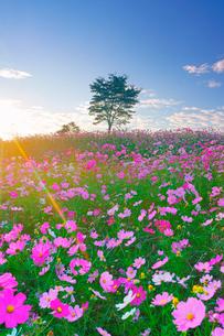 コスモス畑と木立と朝日の光芒の写真素材 [FYI03425106]
