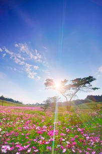 コスモス畑と木立と夕方の木もれ日の写真素材 [FYI03425111]
