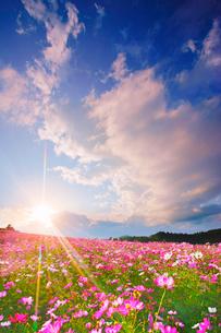 コスモス畑と夕日と湧き立つ雲の写真素材 [FYI03425119]