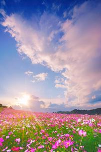 コスモス畑と夕日と湧き立つ雲の写真素材 [FYI03425120]