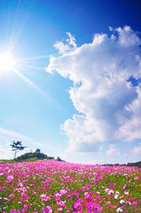 コスモス畑と木立と太陽と湧き立つ雲の写真素材 [FYI03425139]