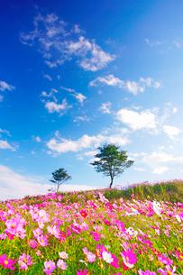 コスモス畑と木立と雲の写真素材 [FYI03425165]