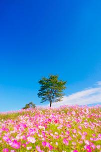 コスモス畑と木立の写真素材 [FYI03425169]