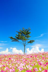 コスモス畑と木立の写真素材 [FYI03425170]