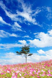 コスモス畑と木立とすじ雲の写真素材 [FYI03425173]