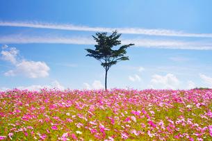 コスモス畑と木立と二筋の雲の写真素材 [FYI03425176]