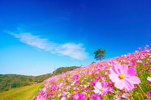 コスモス畑と木立とすじ雲の写真素材 [FYI03425179]