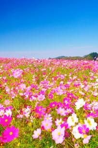 大コスモス園のコスモス畑の写真素材 [FYI03425181]