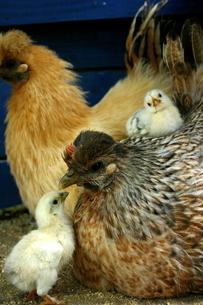鶏の親鳥とひなの写真素材 [FYI03425416]