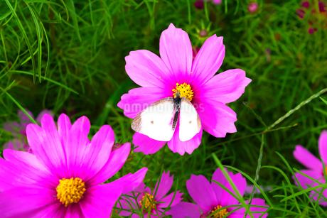 コスモス 蝶の写真素材 [FYI03425619]