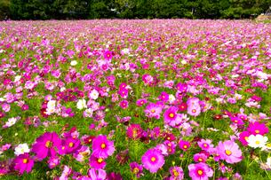 コスモス 花畑の写真素材 [FYI03425989]