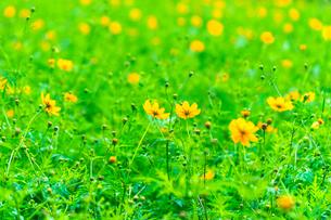 コスモス 花畑の写真素材 [FYI03425990]