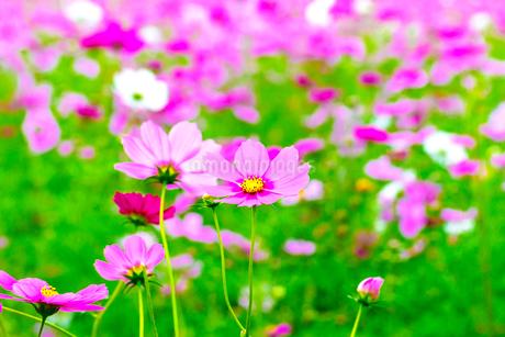 コスモス 花畑の写真素材 [FYI03425997]
