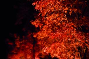 ライトアップされたカエデの木の写真素材 [FYI03426077]