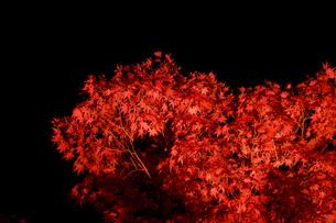 ライトアップされたカエデの木の写真素材 [FYI03426078]