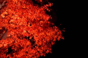ライトアップされたカエデの木の写真素材 [FYI03426079]