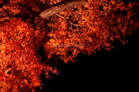 ライトアップされたカエデの木の写真素材 [FYI03426080]