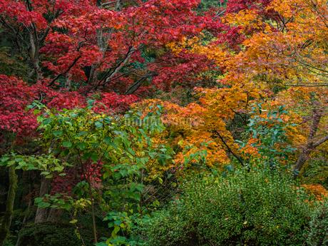 秋に楓が色づき始めた山道の様子の写真素材 [FYI03426252]