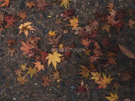 地面に落ちた楓の写真素材 [FYI03426253]