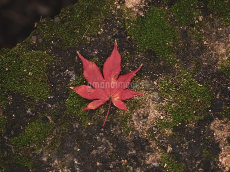 地面に落ちた楓の写真素材 [FYI03426254]