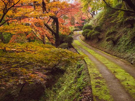 秋に楓が色づき始めた山道の様子 登山の写真素材 [FYI03426258]