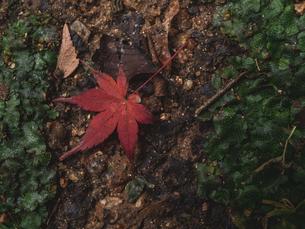 地面に落ちた楓の写真素材 [FYI03426259]