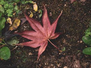 地面に落ちた楓の写真素材 [FYI03426260]