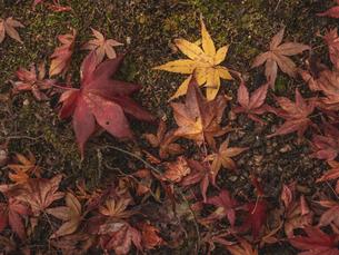 地面に落ちた楓の写真素材 [FYI03426261]