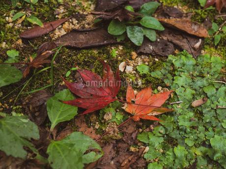 地面に落ちた楓の写真素材 [FYI03426262]