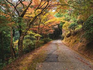 秋に楓が色づき始めた山道の様子 登山の写真素材 [FYI03426270]
