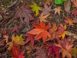 地面に落ちた楓の写真素材 [FYI03426272]