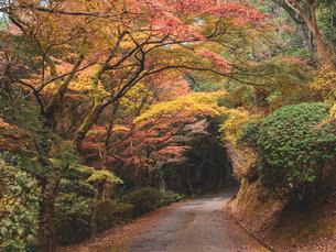 秋に楓が色づき始めた山道の様子 登山の写真素材 [FYI03426273]