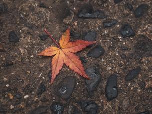 地面に落ちた秋の楓の写真素材 [FYI03426274]